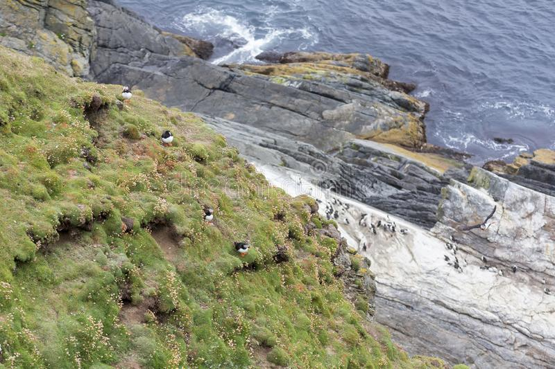 Colony or circus of Puffins sit on the short grass of a cliff in Shetland Islands. Colony or circus of Puffins sit on the short grass of a cliff side in Shetland stock photography
