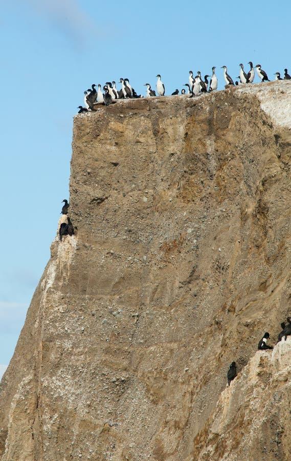Colony of cormorants stock photography