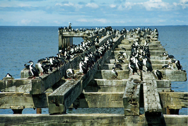 Colony Of Cormorants Stock Photo