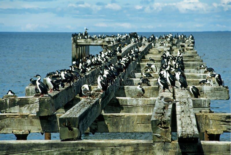 Colony of cormorants stock photo