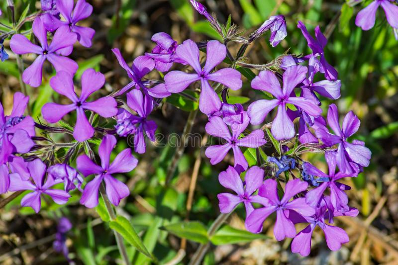 Colony of a Forest Phlox – Phlox divaricate. Wild Blue Phlox, also called Wild Sweet William, grows in rich woods and fields in the Blue Ridge Mountains royalty free stock image
