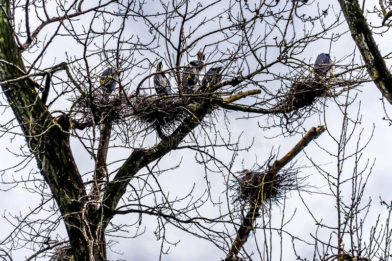 Colony of Great Blue Herons sitting near Chilliwack in beautiful British C royalty free stock photos