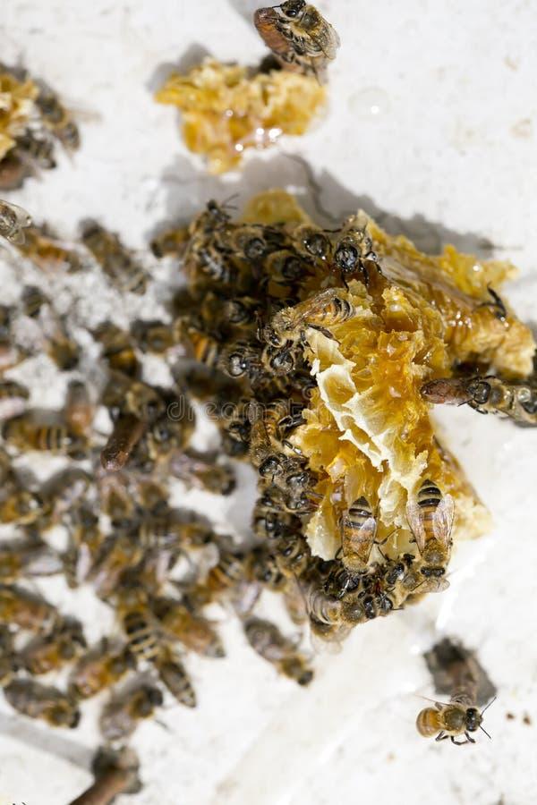 Colony of Honey Bees royalty free stock photo