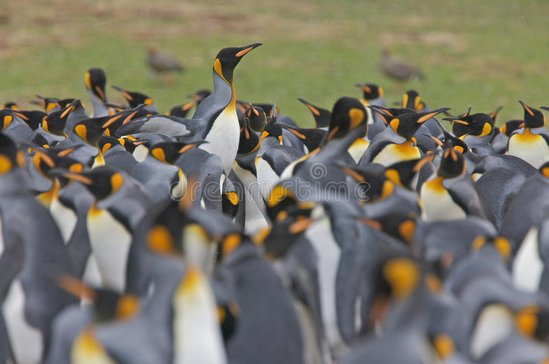 Download Colony of King Penguins stock image. Image of volunteer - 17718939