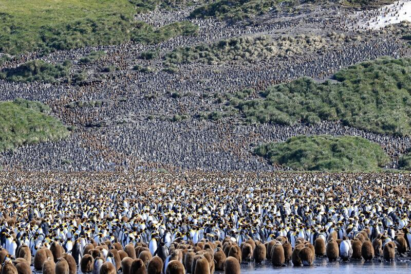 Colony of King Penguins Everywhere stock image