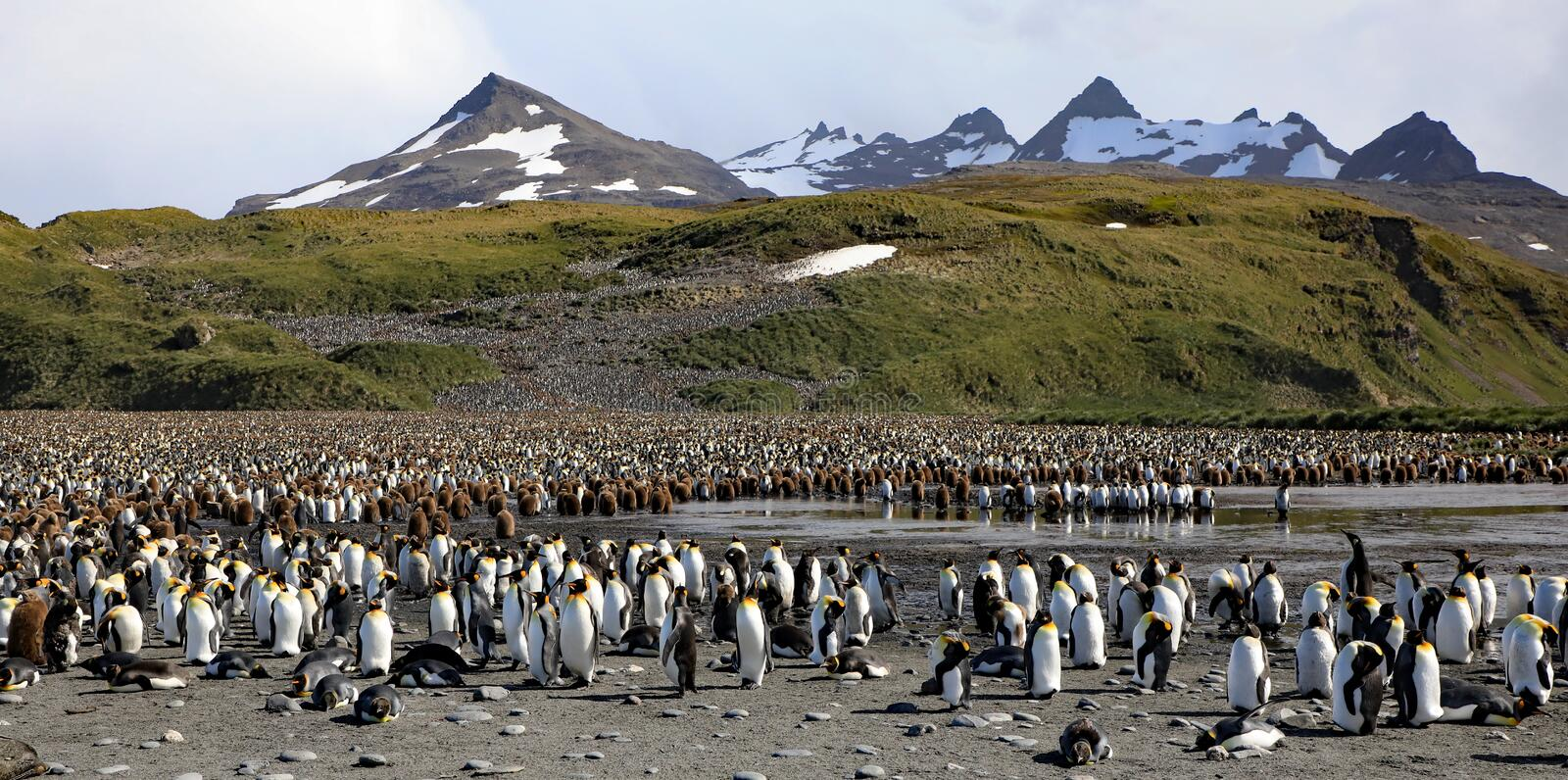 Colony of King Penguins stock photos