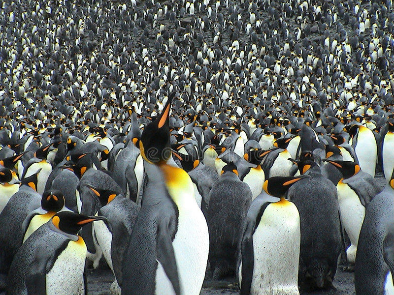 Colony of kings penguins. Antarctic - The march of emperor penguins