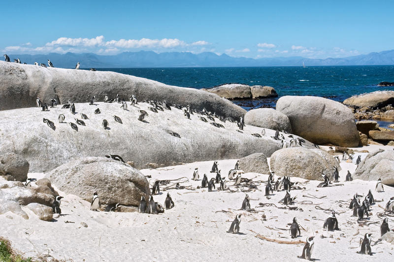 Colony of little penguins on beach royalty free stock photo