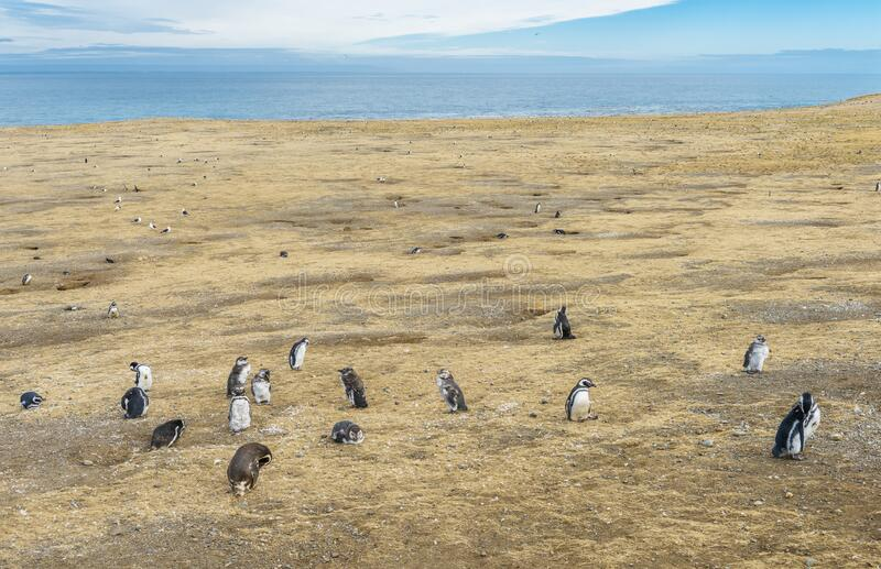 Colony of  Magellanic penguins on Magdalena island in Chile royalty free stock photography
