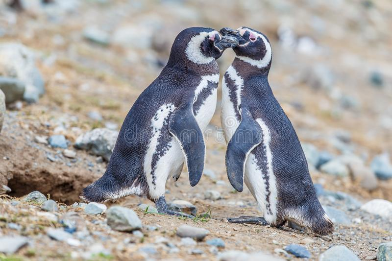 Colony of magellanic penguins on Magdalena island, Strait of Magellan, Chile stock photo