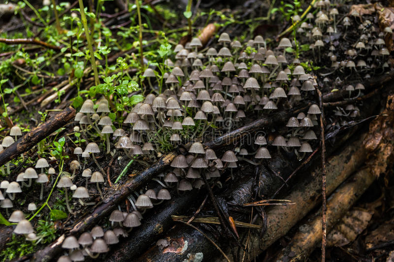 A colony of mushrooms growing on an old tree stump covered with moss.  royalty free stock photography