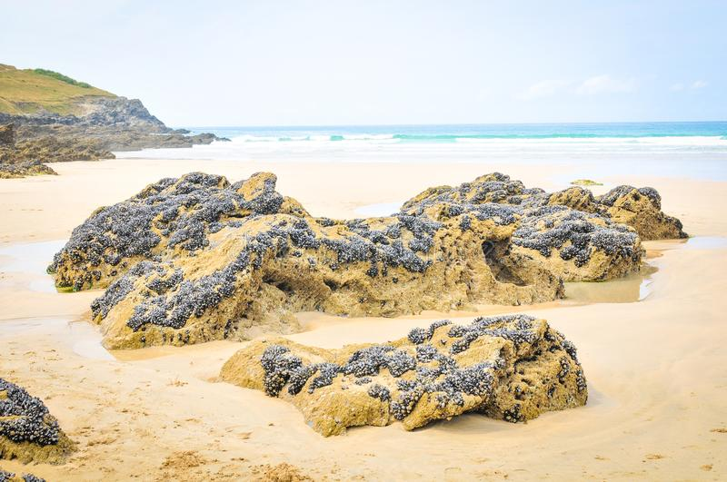 Colony of mussels. In Cornwall, England royalty free stock photos
