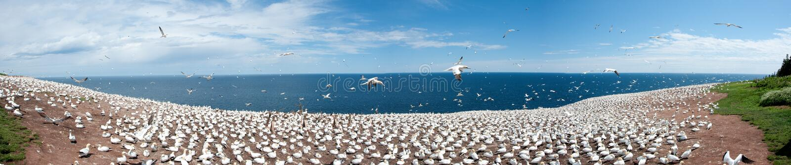 Colony Of Northern Gannet Royalty Free Stock Images