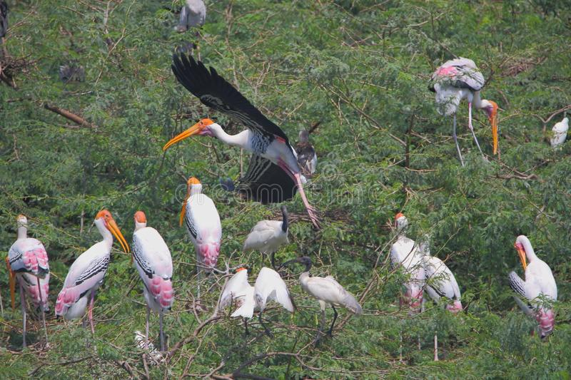 Colony of painted stork bird royalty free stock photography