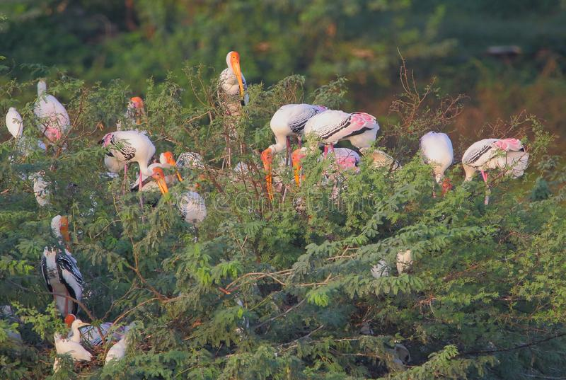 Colony of painted stork bird. Painted stork family enjoy in the tree. this tree is special for bird because it is a breeding ground for about five types of birds royalty free stock image
