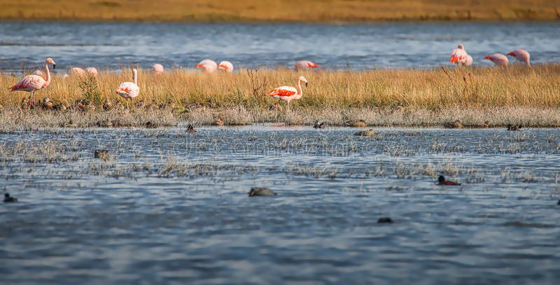 Colony of Rosy Flamingos near Calafate town, at the Nimez Bird Reserve, Patagonia, Argentina. Early Autumn time royalty free stock images