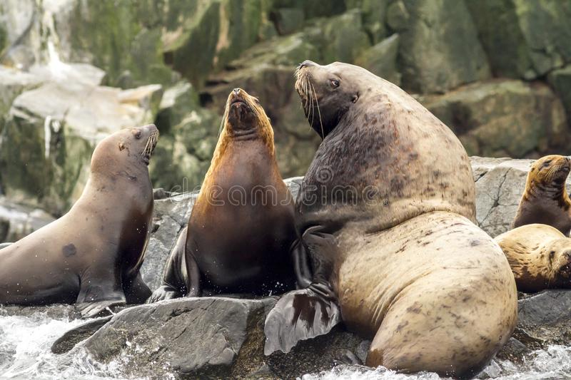 Colony of sea lions Eumetopias jubatus on the rock, Russia, Kamchatka.  royalty free stock photography