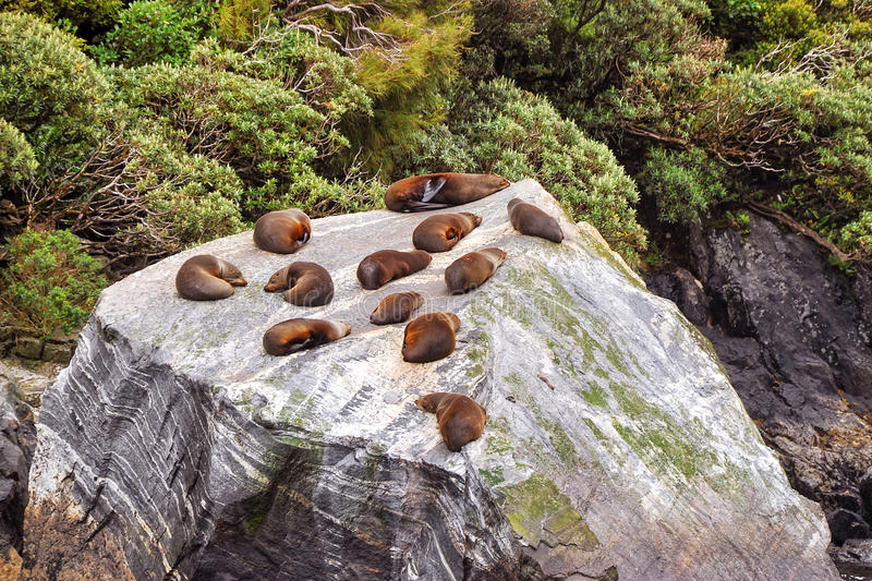 Colony of sea lions royalty free stock image