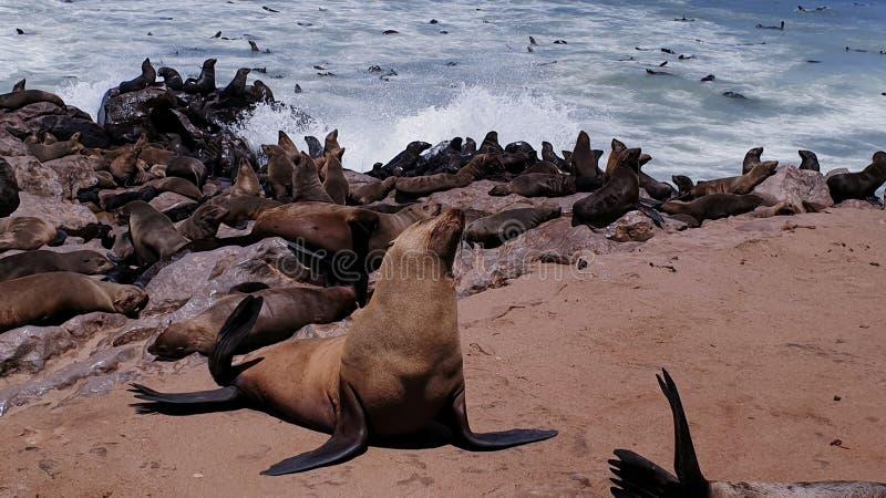Seals, Skeleton coast, Namibia. Colony of seals on the Skeleton coast, Namibia royalty free stock photos