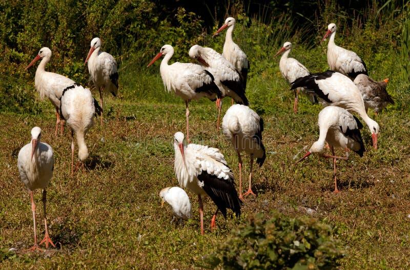 Colony Of Storks Stock Photos