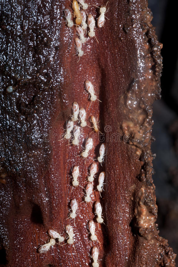 Colony of Termites destroying timber royalty free stock photo