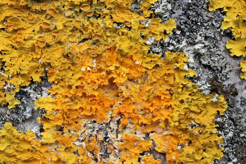 The colony of yellow lichens grows on the tree bark macro stock image