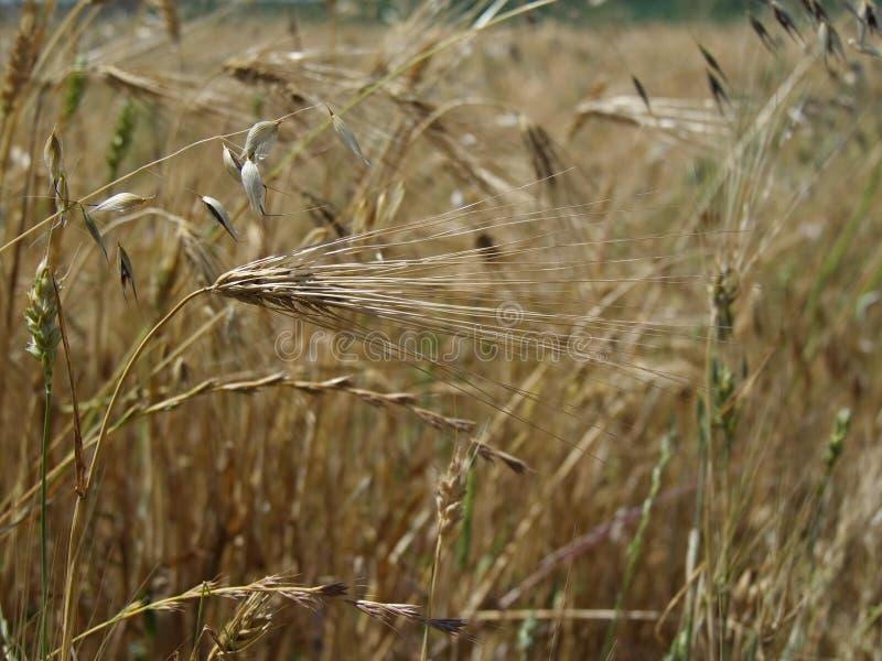 Coloque alimento dourado do alimento do cereal da grão da colheita da agricultura das orelhas do trigo o grande foto de stock royalty free