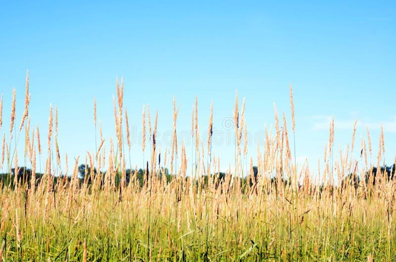Coloque as cabeças da semente da grama altas contra o céu azul fotos de stock