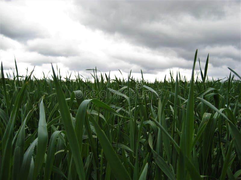 coloque com a colheita de grão da grama verde antes da tempestade e da chuva fotografia de stock