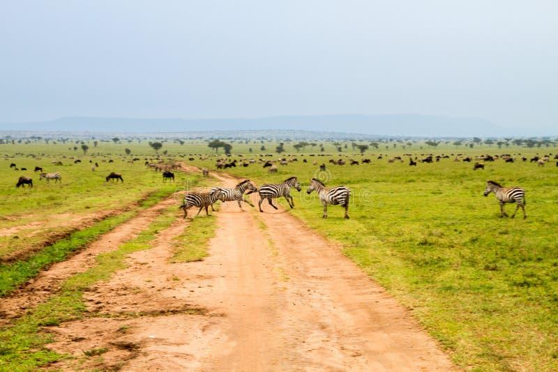 Coloque com zebras e gnu e estrada de terra azuis fotos de stock