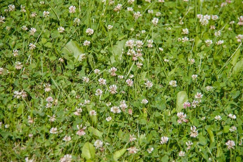 Coloque completamente da grama verde com lotes de flores brancas pequenas imagens de stock royalty free
