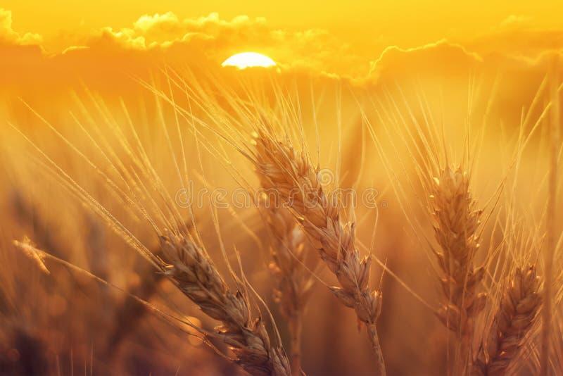 Coloque con las espigas de trigo de oro maduras contra el s de determinación brillante imagen de archivo