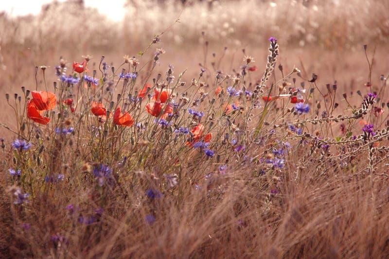 Coloque con las hierbas, las amapolas y los acianos en la provincia Italia foto de archivo libre de regalías