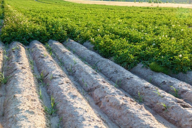 Coloque con los arbustos florecientes de las altas camas de la patata para el crecimiento de la patata imagen de archivo libre de regalías