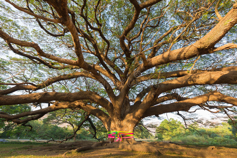 Coloque el árbol gigante grande en el parque nacional de Tailandia imagen de archivo