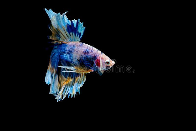 Coloré avec la couleur principale des poissons bleus de betta, le poisson de combat siamois a été isolé sur le fond noir Pêchez é images stock