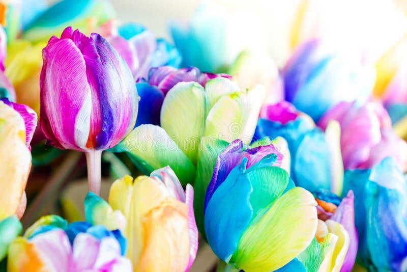 tulipe arc en ciel