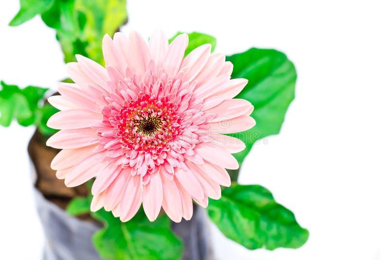 Coloré de la fleur rose de gerber photographie stock libre de droits