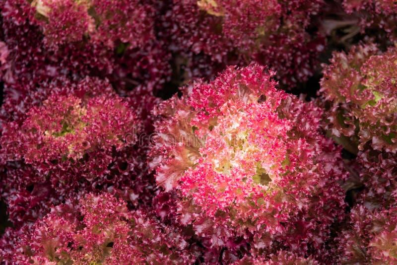coloré des légumes rouges a appelé le corail rouge photographie stock libre de droits
