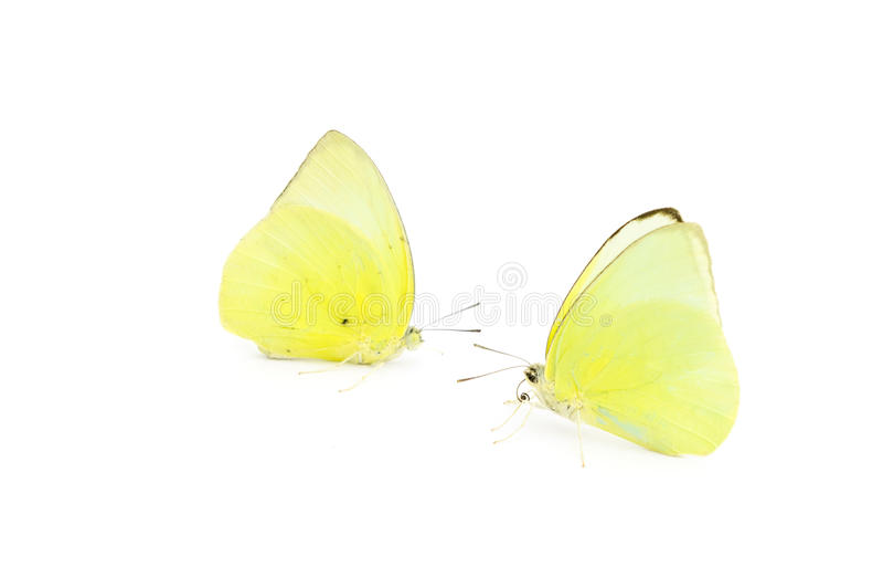 Color amarillo de la mariposa imagen de archivo libre de regalías