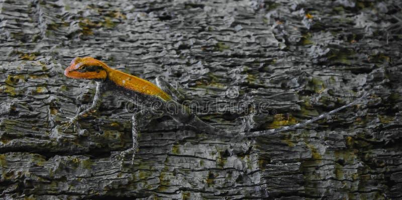 Color anaranjado del lagarto oriental lindo del jardín foto de archivo libre de regalías