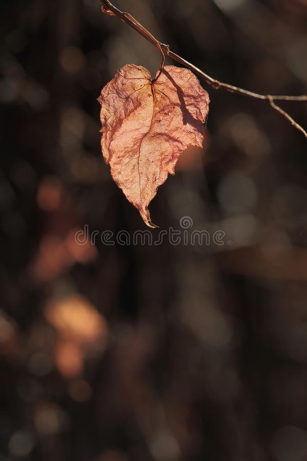 The color of autum. Autum leaf with dark background royalty free stock image