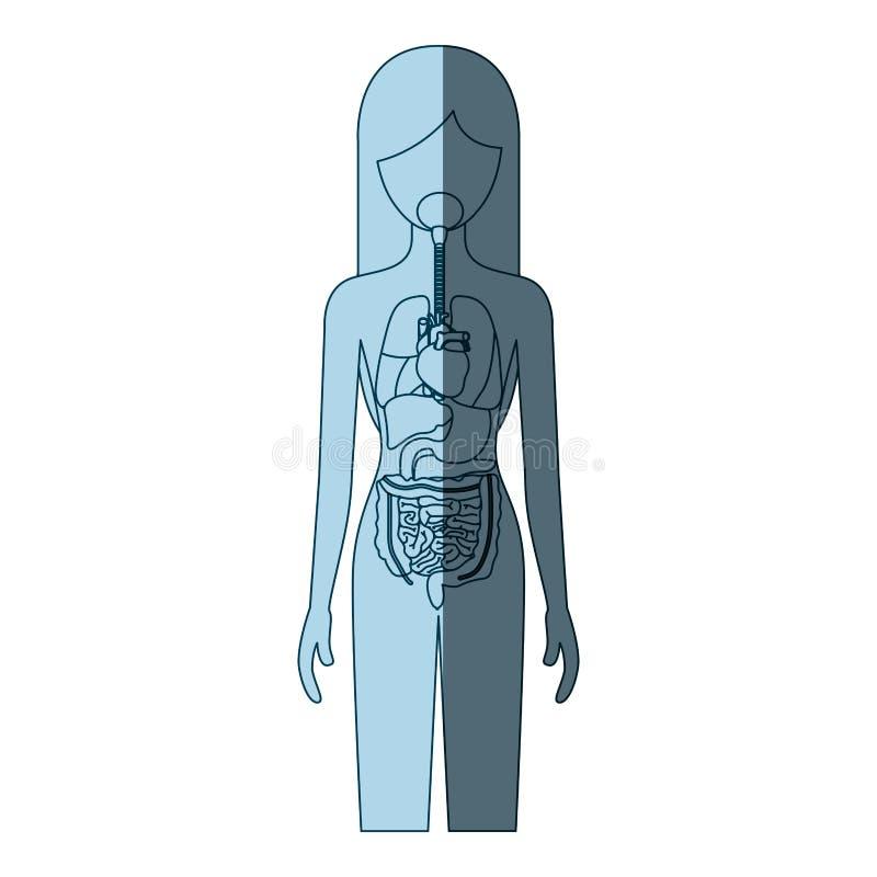 Color azul que sombrea a la persona femenina de la silueta con el sistema de los órganos internos de cuerpo humano ilustración del vector