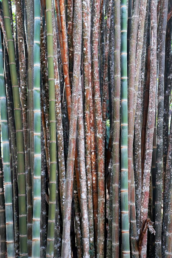 Color bamboo background, wallpaper, bamboo trunks in a grove in Chaingmai Thailand Asia. High resolution image gallery royalty free stock photo