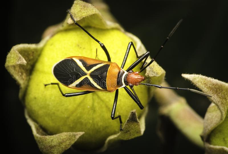 Color beetle in beautifu malaysia stock photos