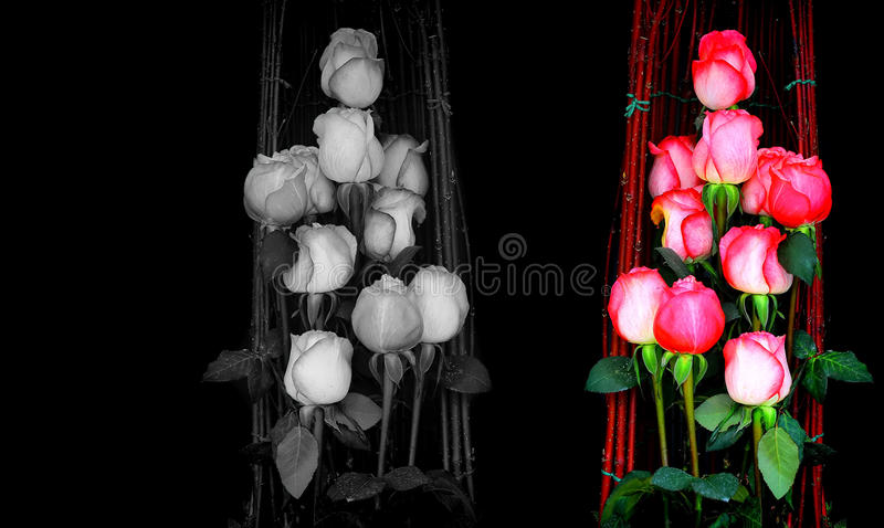 Color, black and white roses background royalty free stock photography