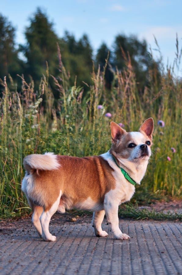 Color blanco-rojo del perro de la chihuahua fotos de archivo