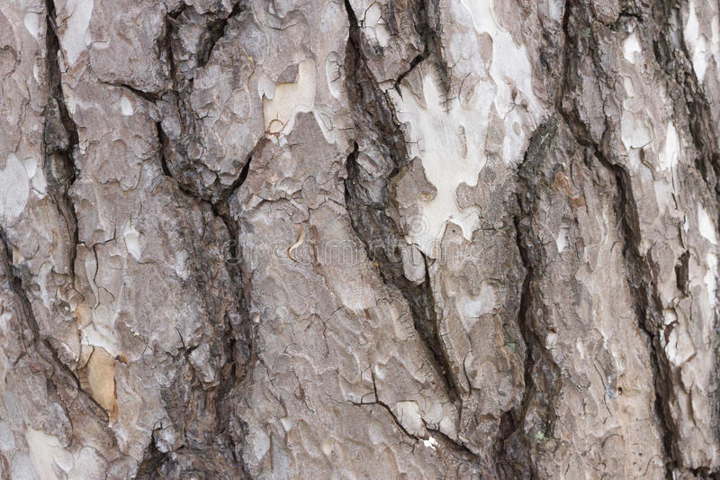 Color brown bark of pine tree. Background bark with wood detail royalty free stock images