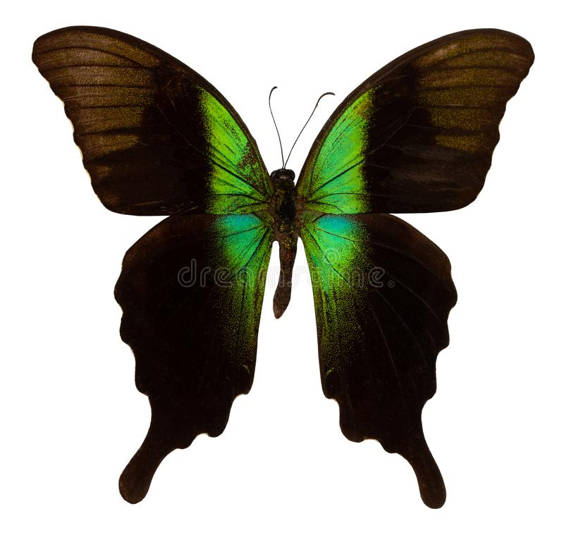 Color butterfly, isolated on white background. PAPILIO ADAMANTIUS royalty free stock images