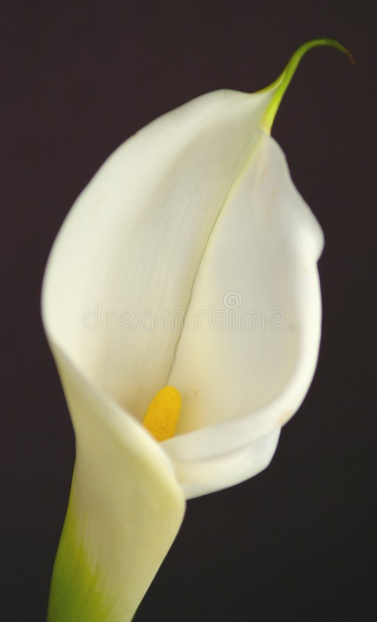 Color Cala Lilly stock photography